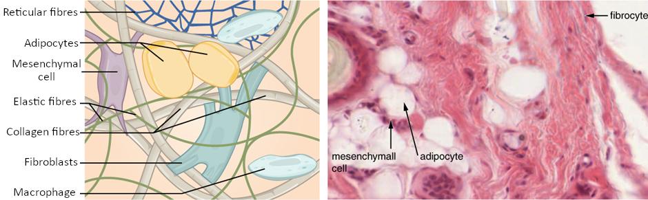 Connective tissue proper