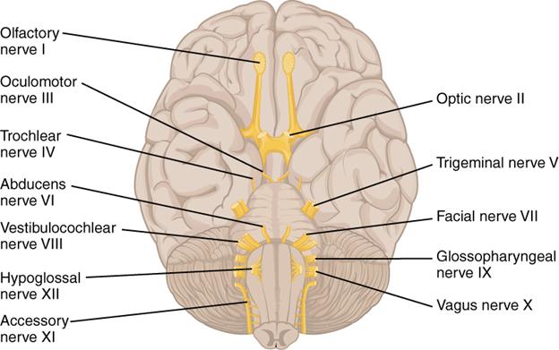 Diagram of cranial nerves