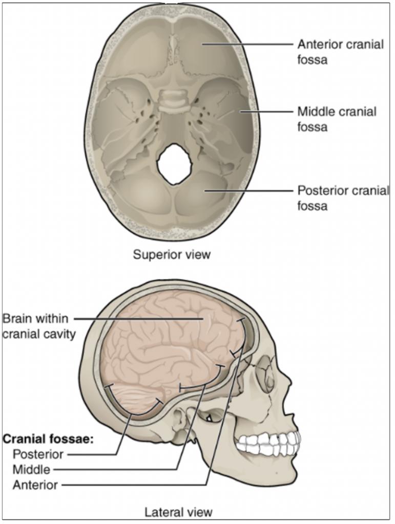 Cranial fossae.