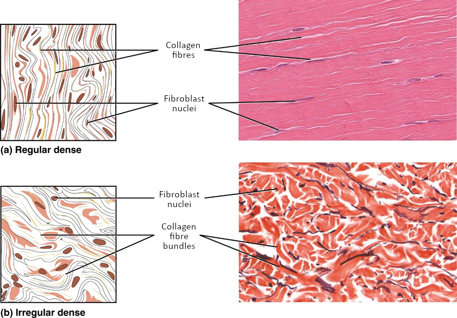 Images of dense connective tissue