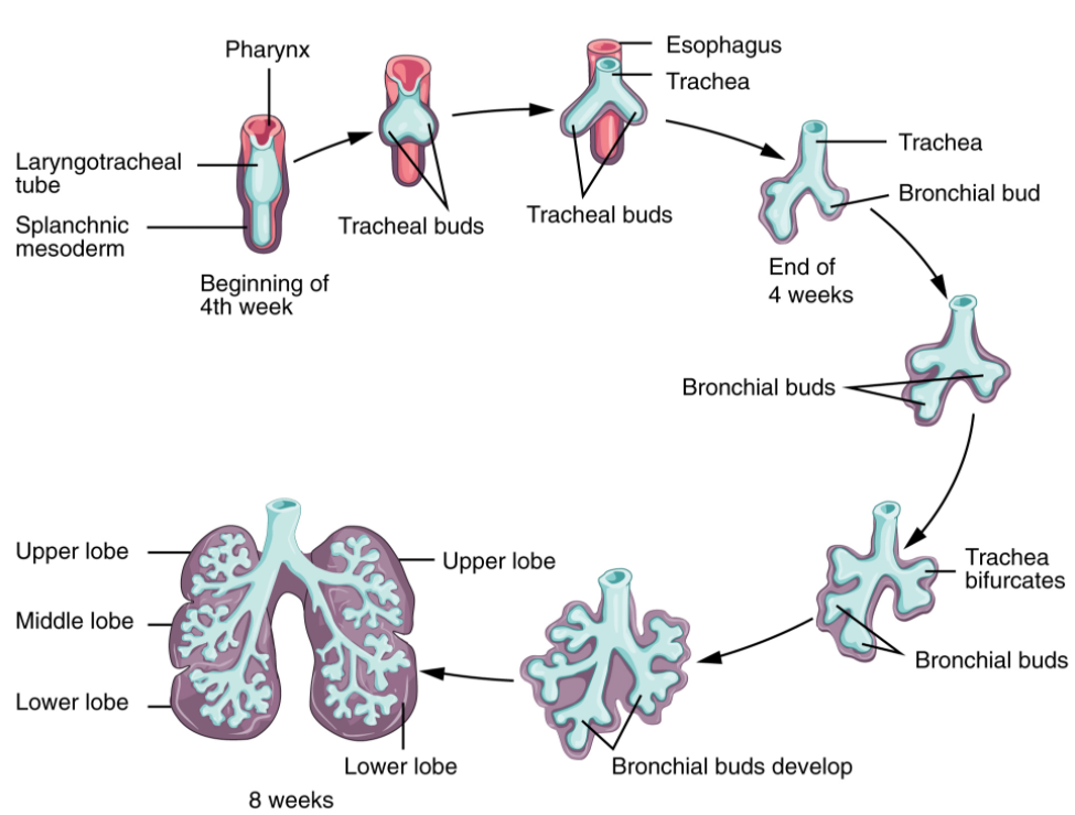 diagram of the development of lower respiratory system