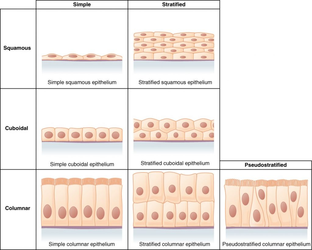 Diagram of cells of epithelial tissue including squamous, cudoidal and columnar