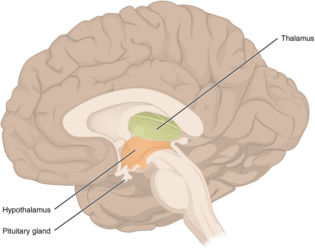Figure 13.7.6. The diencephalon. The diencephalon is composed primarily of the thalamus and hypothalamus, which together define the walls of the third ventricle. The thalami are two elongated, ovoid structures on either side of the midline that make contact in the middle. The hypothalamus is inferior and anterior to the thalamus, culminating in a sharp angle to which the pituitary gland is attached.