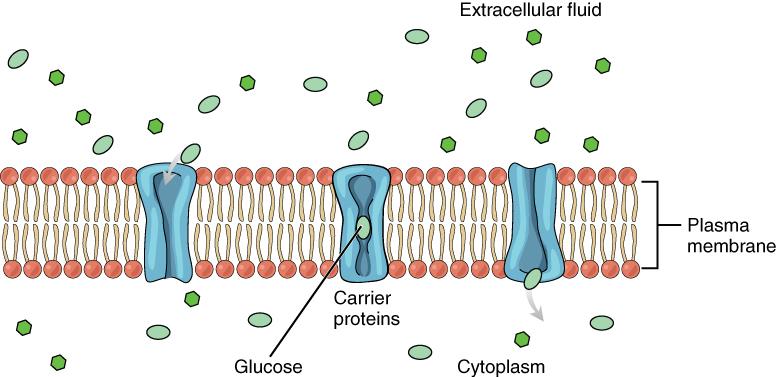 Diagram of Facilitated diffusion