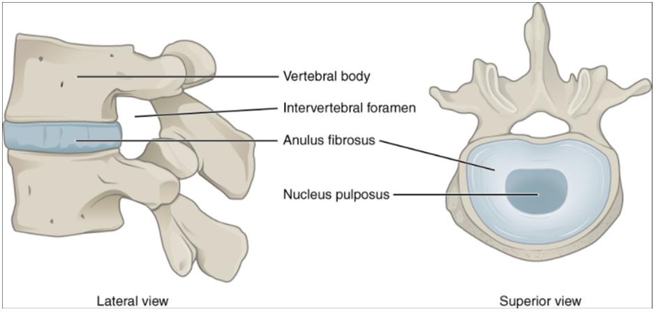 Diagram of Intervertebral disc