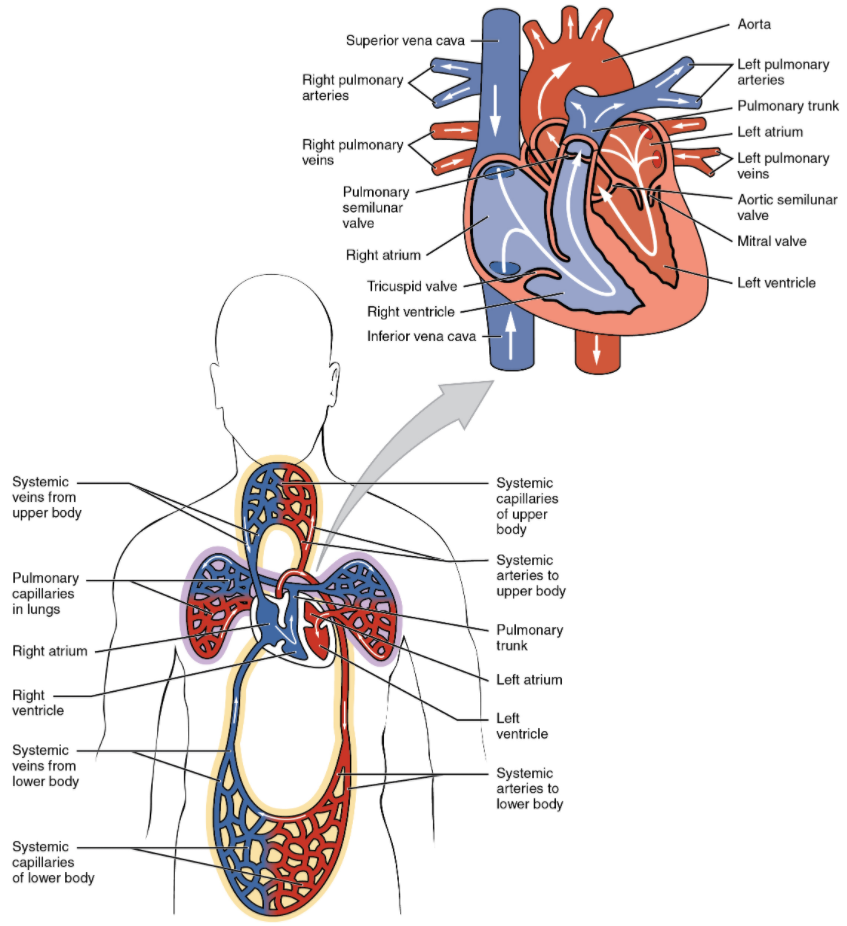 Dual system of the human blood circulation - diagram
