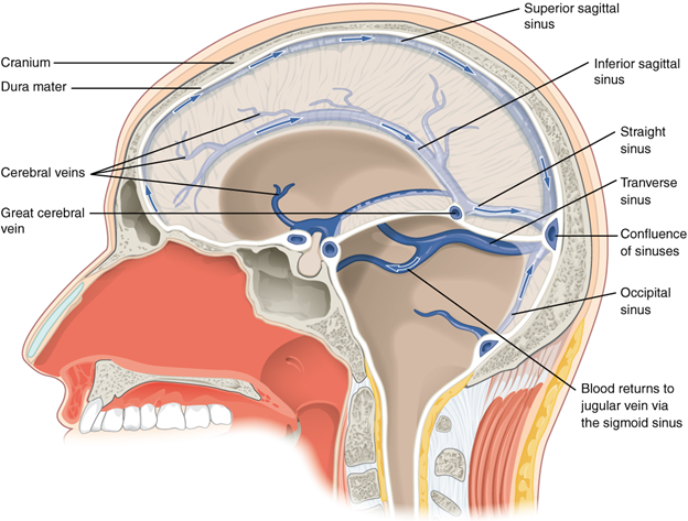 Diagram of Dural sinuses and veins