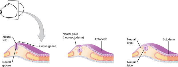 Diagram of Early embryonic development of nervous system