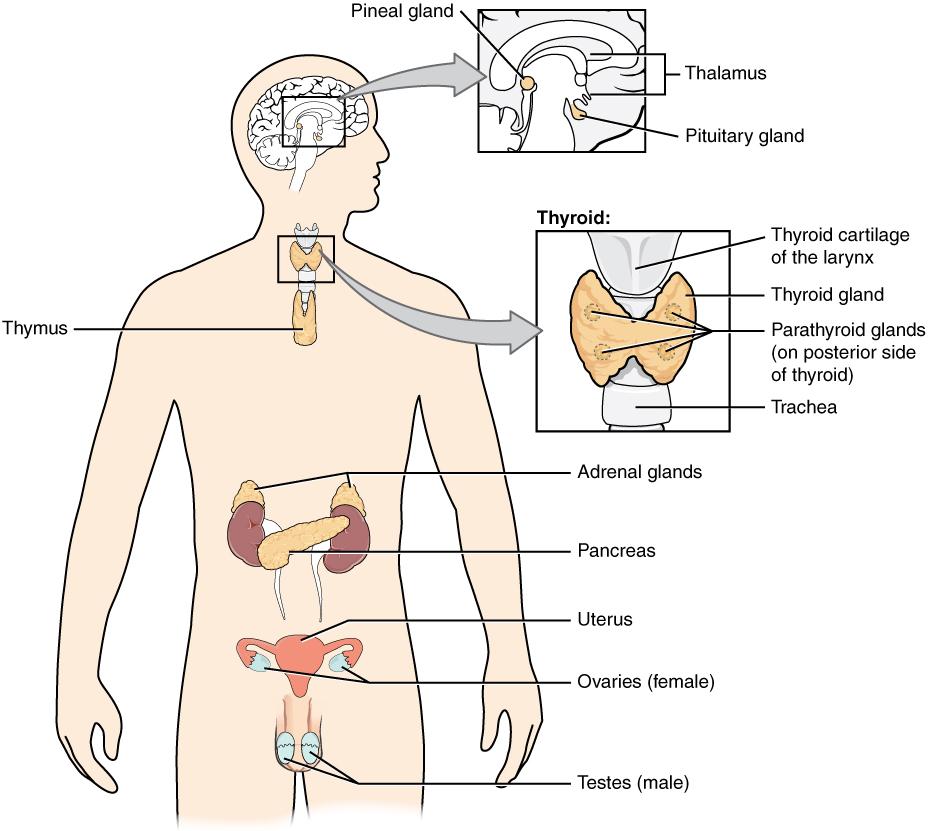 Diagram of endocrine system