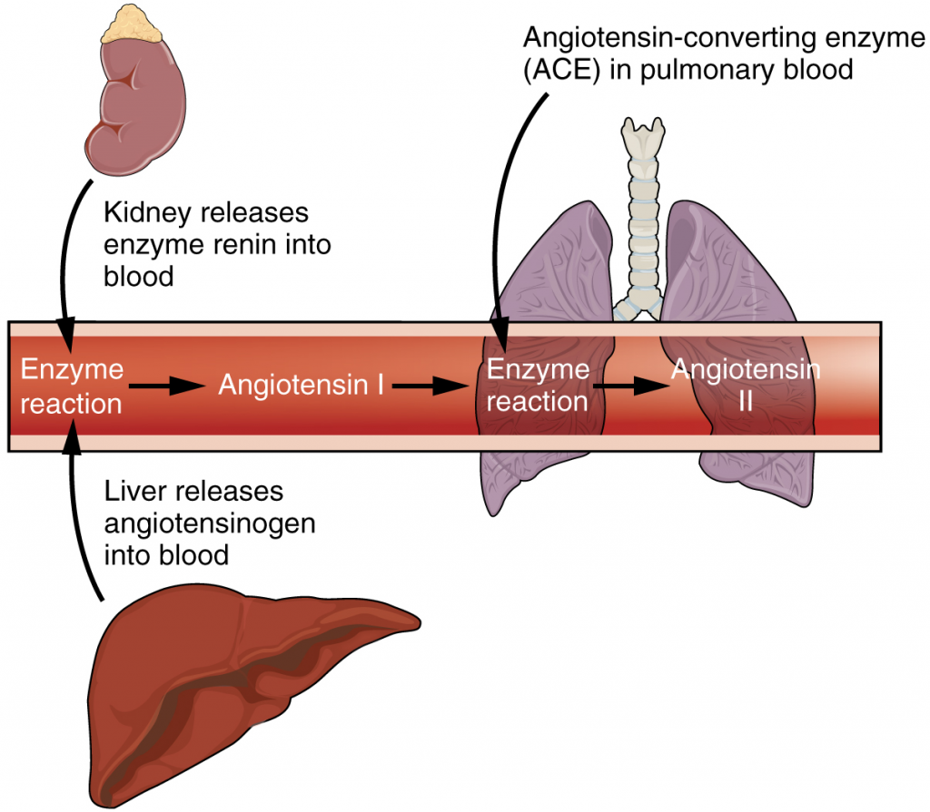 The enzyme renin converts the pro-enzyme angiotensin.