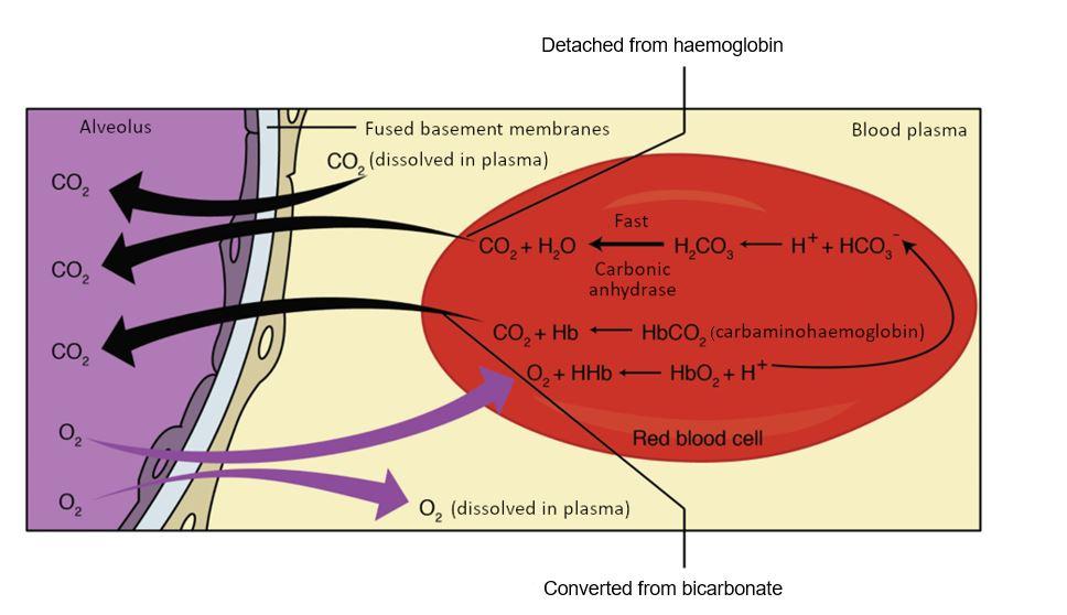 External respiration diagram