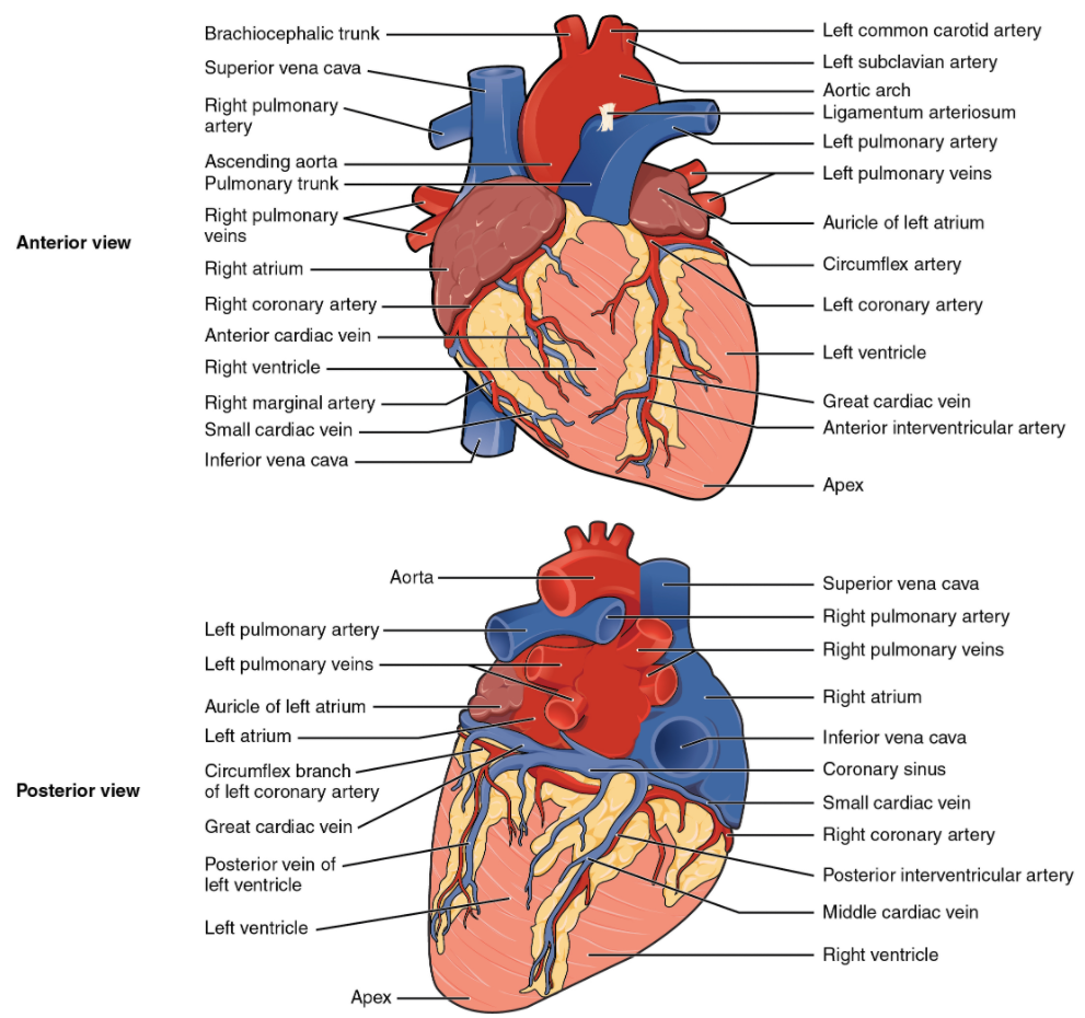 Diagram of external anatomy of heart