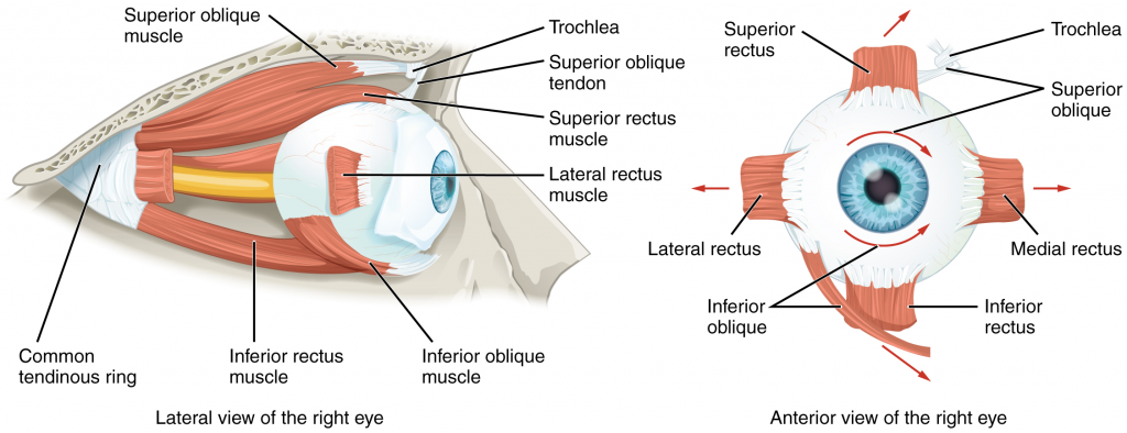 Diagram of Extraocular muscles