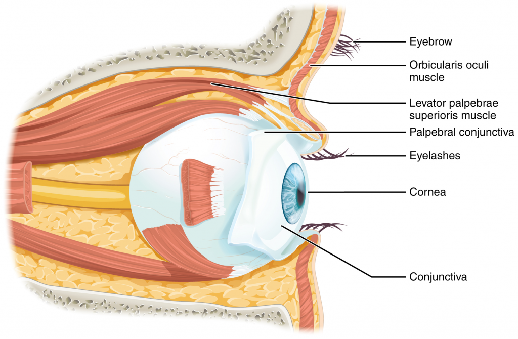 Diagram of eye in orbit