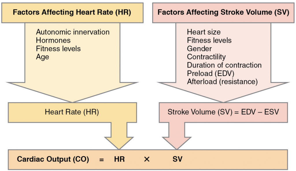 Major factors influencing cardiac output. Cardiac output is influenced by heart rate and stroke volume, both of which are also variable.