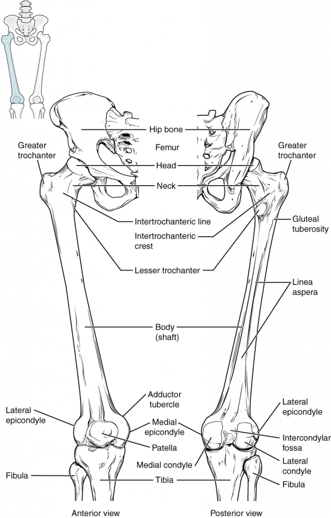 Diagram of femur and patella