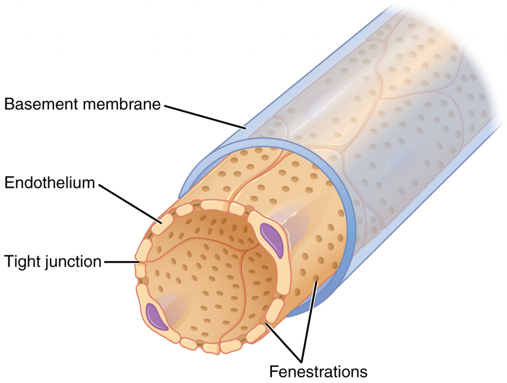 Fenestrated capillary.