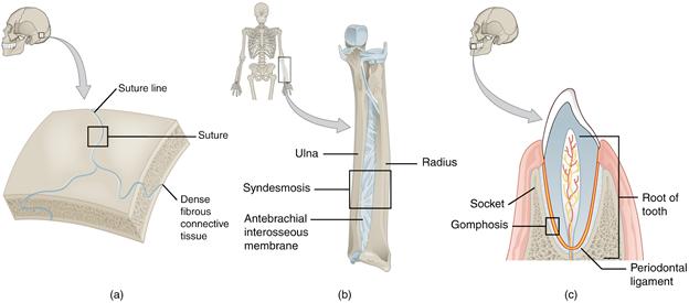 Diagram of fibrous joints