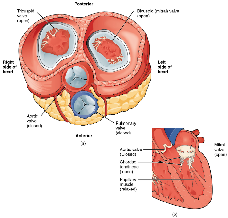 (a) A transverse section through the heart illustrates the four heart valves. The two atrioventricular valves are open; the two semilunar valves are closed. The atria and vessels have been removed. (b) A frontal section through the heart illustrates blood flow through the mitral valve. When the mitral valve is open, it allows blood to move from the left atrium to the left ventricle. The aortic semilunar valve is closed to prevent backflow of blood from the aorta to the left ventricle.