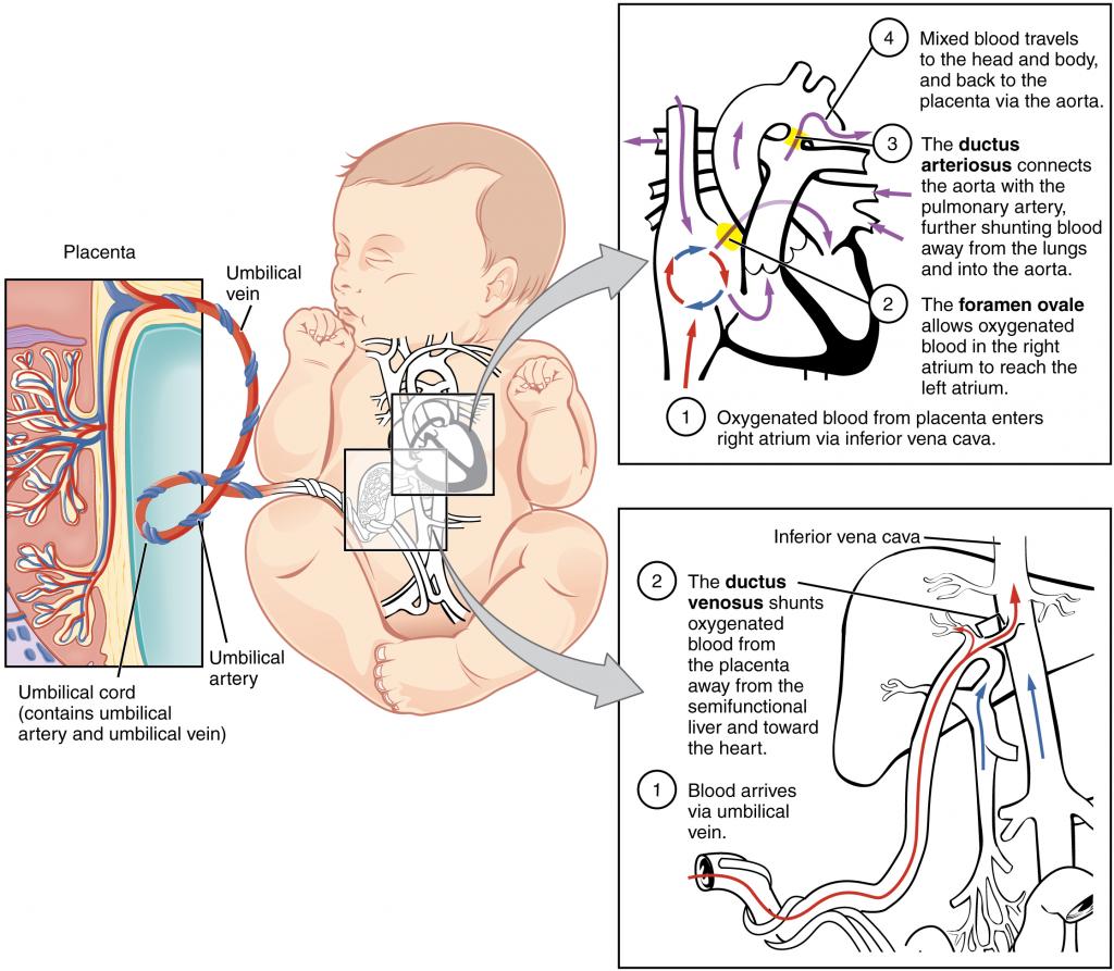 Diagram of Foetal circulatory system