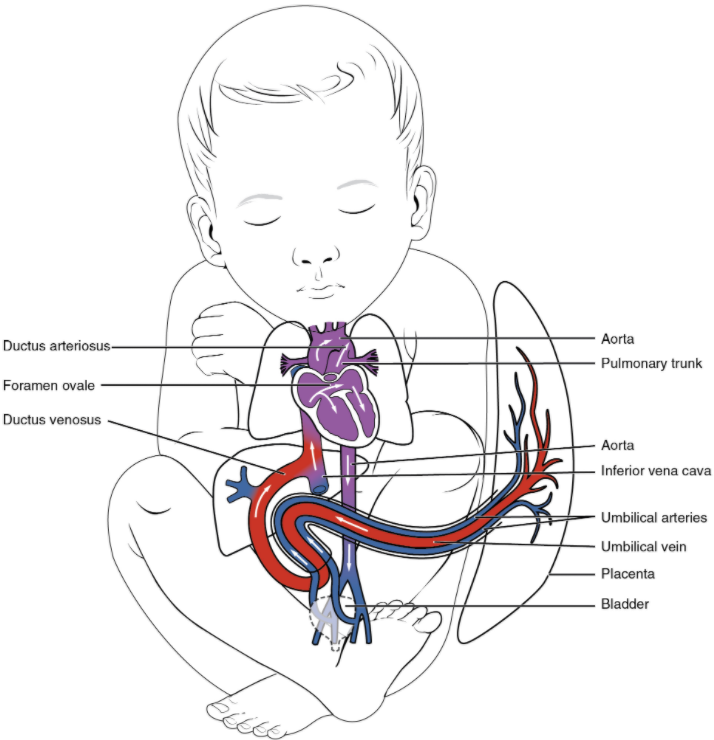Foetal shunts