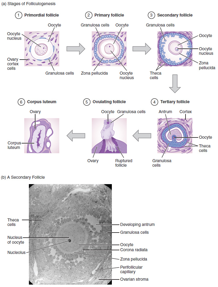Folliculogenesis. (a) The maturation of a follicle is shown in a clockwise direction proceeding from the primordial follicles. FSH stimulates the growth of a tertiary follicle, and LH stimulates the production of oestrogen by granulosa and theca cells. Once the follicle is mature, it ruptures and releases the oocyte. Cells remaining in the follicle then develop into the corpus luteum. (b) In this electron micrograph of a secondary follicle, the oocyte, theca cells (thecae folliculi), and developing antrum are clearly visible.