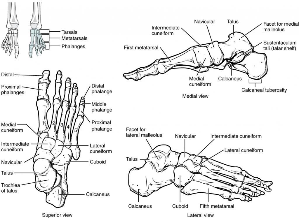 Bones of the foot.