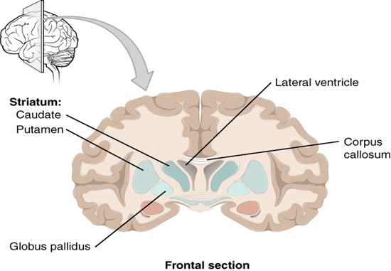Frontal section of cerebral cortex and basal nuclei