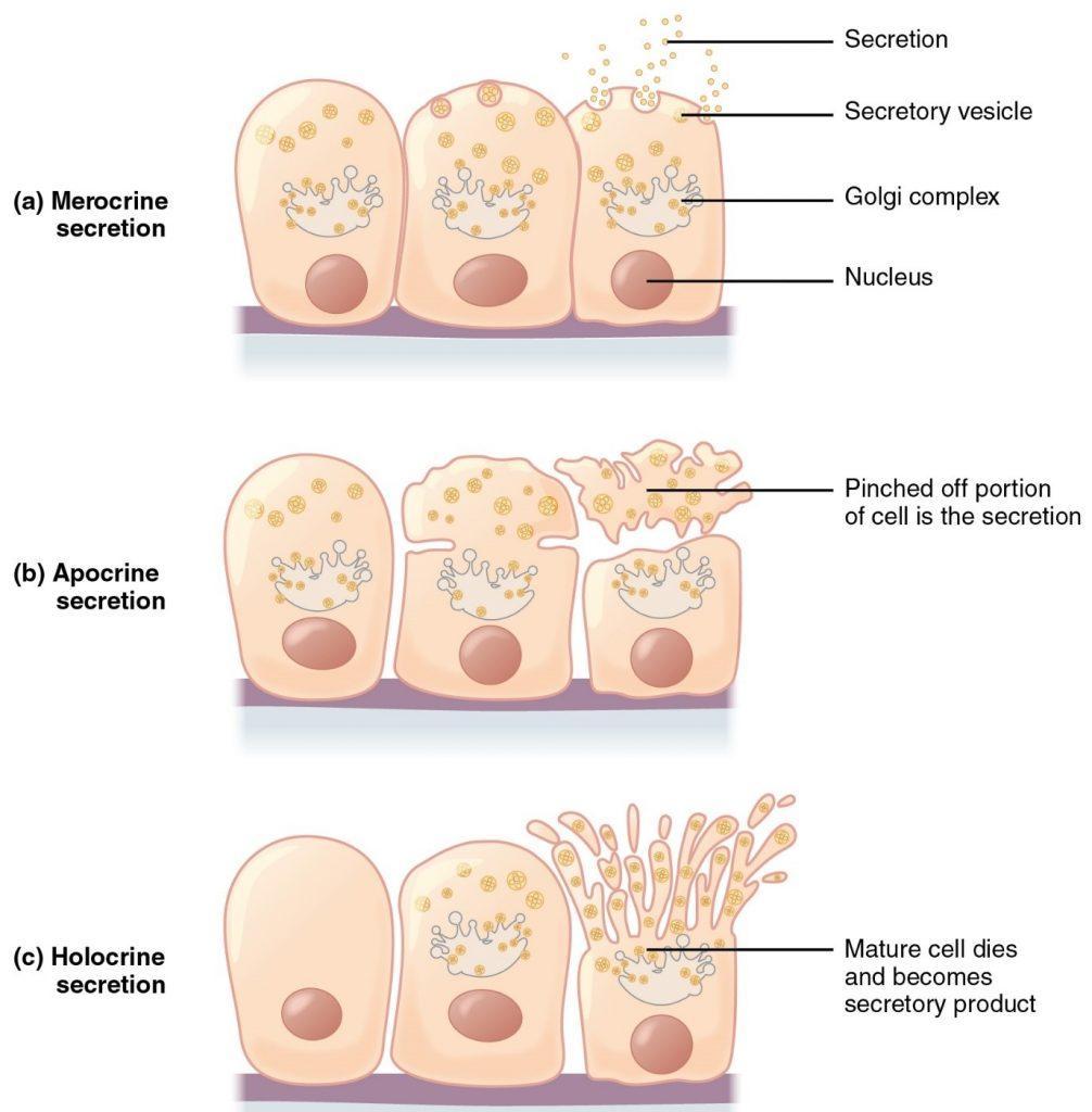 Diagram of modes of glandular secrtion including mercocrine, apocrine and holocrine secretion