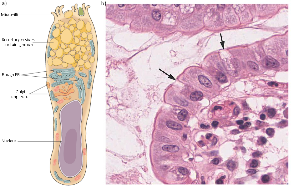 Diagram and photograph of goblet cell