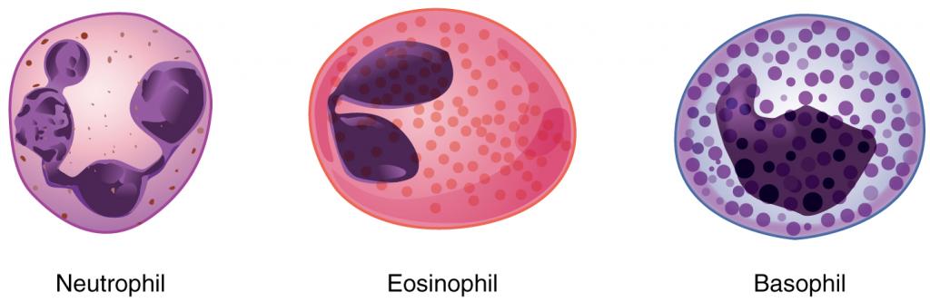 Granular leukocytes