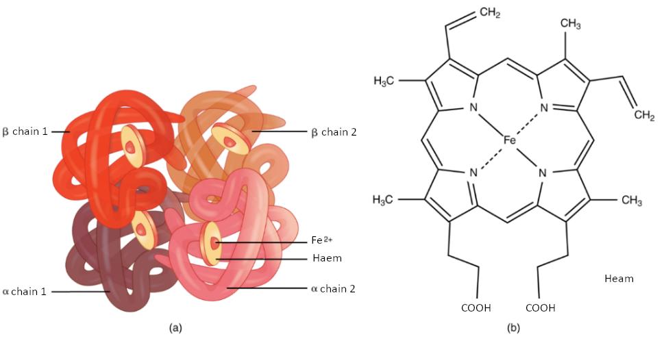 Diagram of haemoglobin