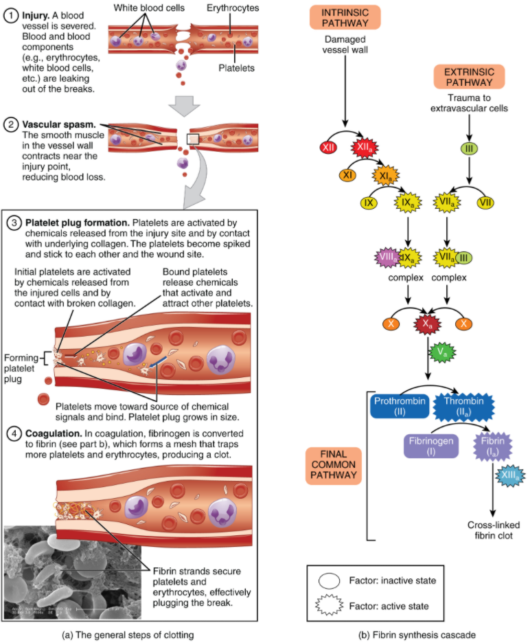 . (a) An injury to a blood vessel initiates the process of haemostasis. Blood clotting involves three steps. First, vascular spasm slows the flow of blood. Next, a platelet plug forms to temporarily seal small openings in the vessel. Coagulation then enables the repair of the vessel wall once the leakage of blood has stopped. (b) The synthesis of fibrin in blood clots involves both an intrinsic pathway and an extrinsic pathway, both of which lead to a common pathway