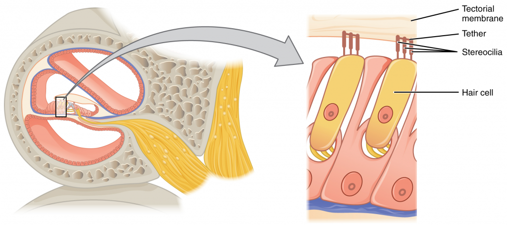 diagram of hair cell