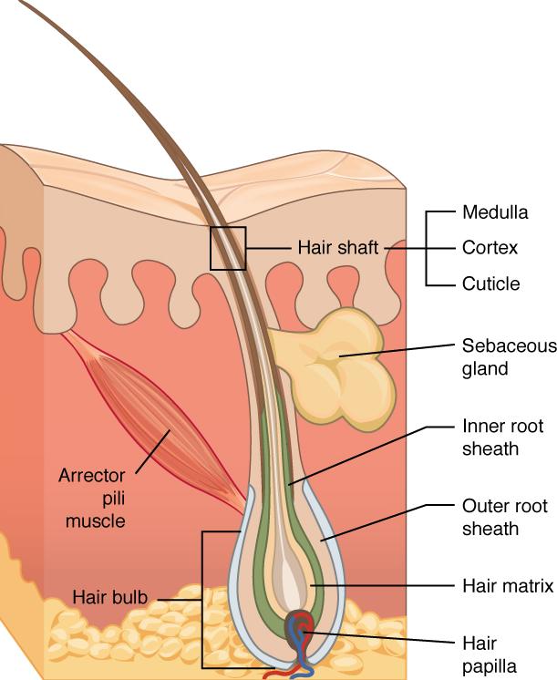 diagram of hair and hair follicles