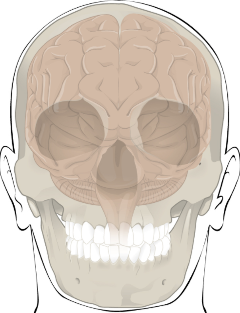 Skeleton diagram of the head