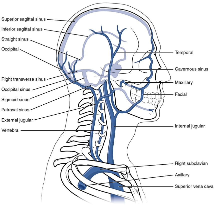 This left lateral view shows the veins of the head and neck, including the intercranial sinuses.