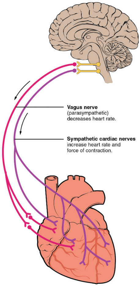 Autonomic innervation of the heart.