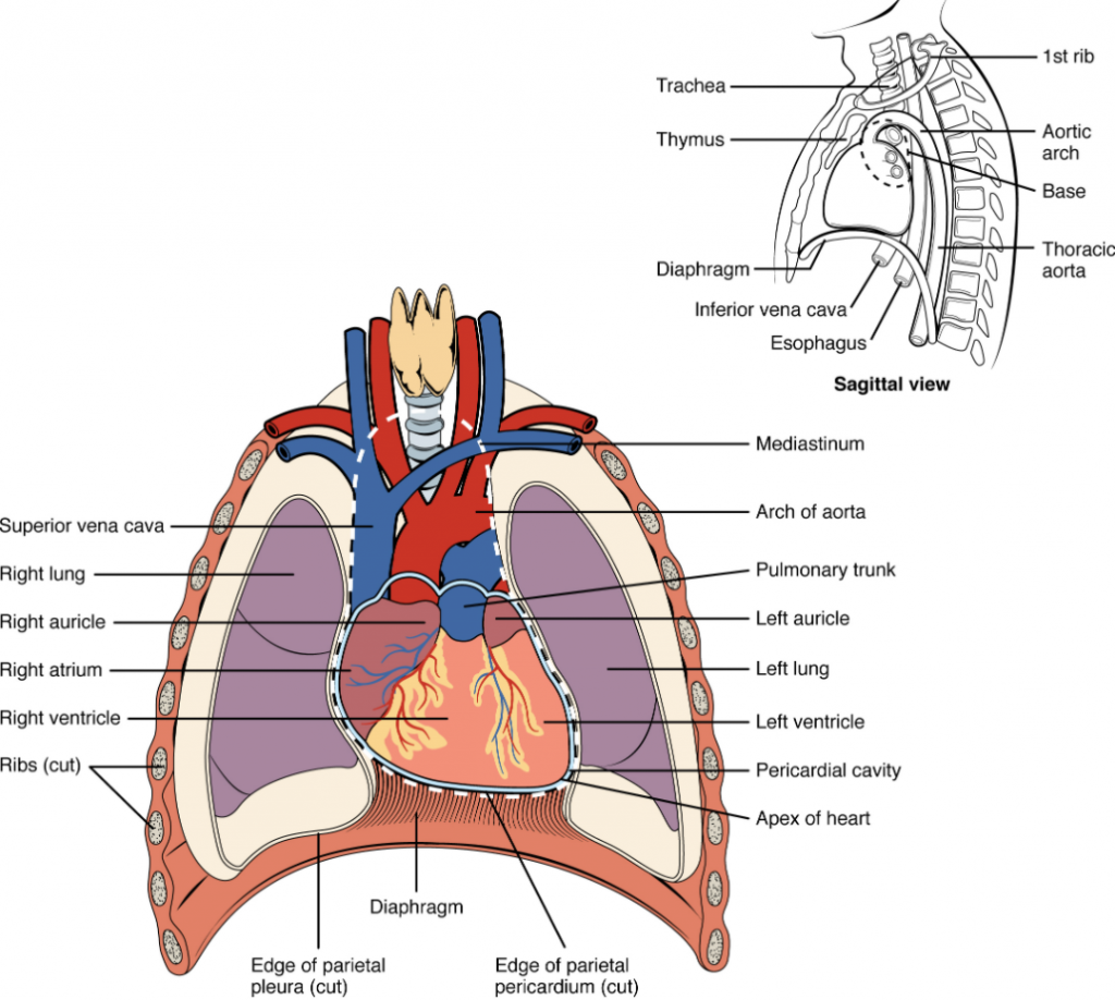 Diagram that shows position of the heart