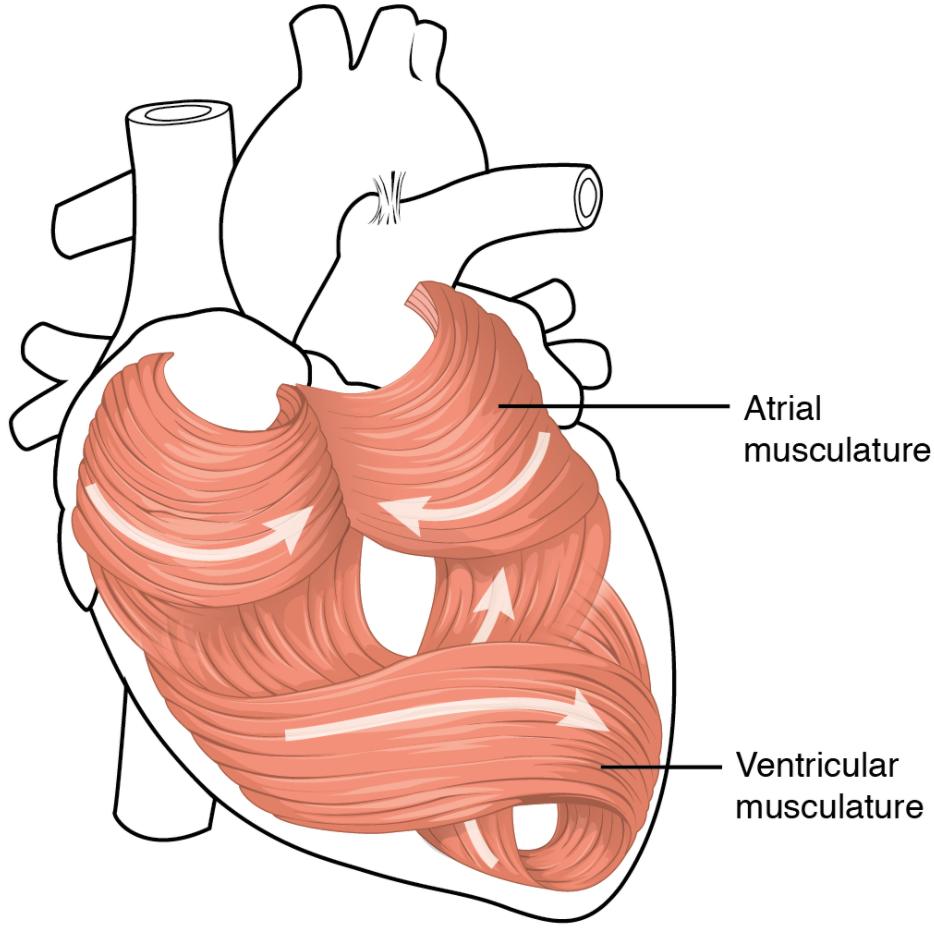 Heart musculature