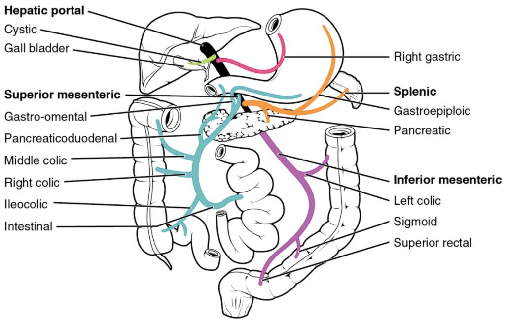 Diagram of Hepatic portal system.