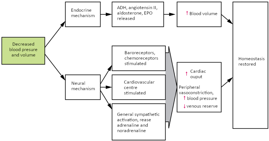 Flowchart of Homeostatic responses to loss of blood volume