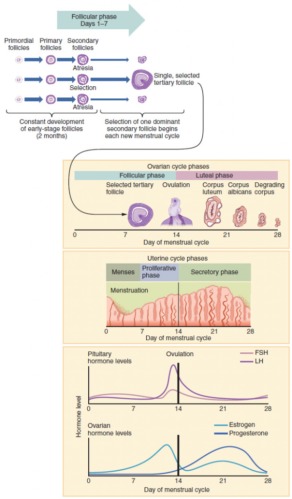 Graph of Hormone levels in ovarian and menstrual cycles