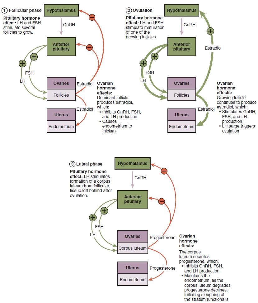 Hormonal regulation of ovulation.