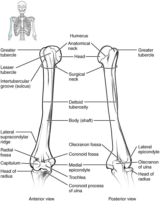 Diagram of Humorous and elbow joint.