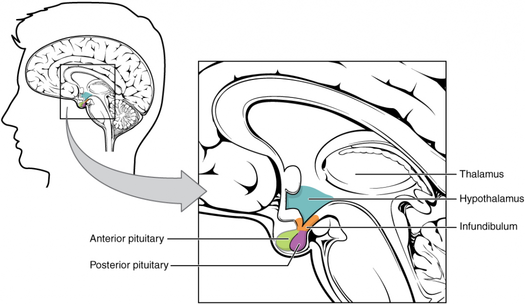 Hypothalamus–pituitary complex.