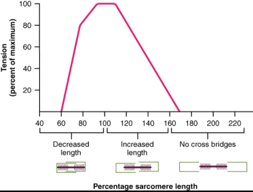 The ideal length of a sarcomere