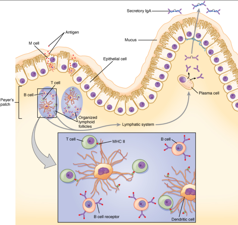 Figure 7.5.2. IgA immunity. The nasal-associated lymphoid tissue and Peyer's patches of the small intestine generate IgA immunity. Both use M cells to transport antigen inside the body so that immune responses can be mounted.