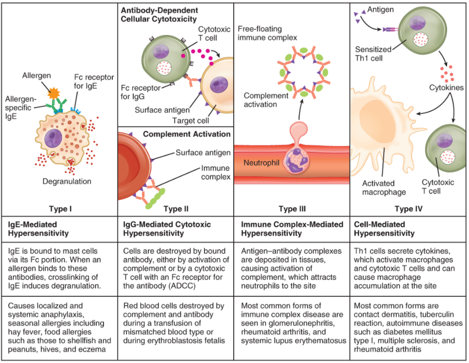 Immune hypersensitivity. Components of the immune system cause four types of hypersensitivity. Notice that types I–III are B cell mediated, whereas type IV hypersensitivity is exclusively a T cell phenomenon.