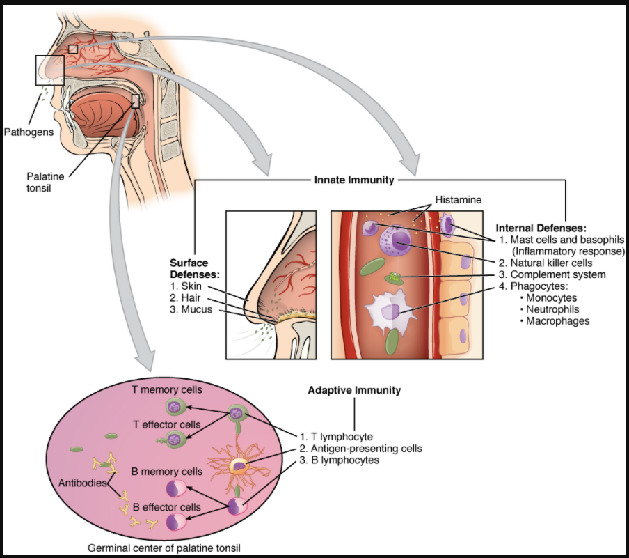 Diagram of Cooperation between innate and adaptive immune responses